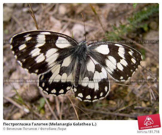 Пестроглазка Галатея (Melanargia Galathea L.), фото № 81718, снято 26 июня 2007 г. (c) Вячеслав Потапов / Фотобанк Лори