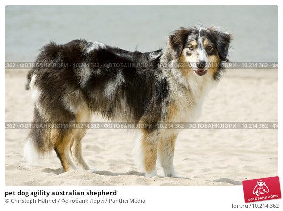 Купить «pet dog agility australian shepherd», фото № 10214362, снято 15 сентября 2019 г. (c) PantherMedia / Фотобанк Лори