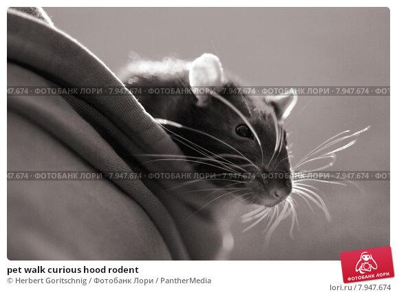 Купить «pet walk curious hood rodent», фото № 7947674, снято 20 февраля 2020 г. (c) PantherMedia / Фотобанк Лори