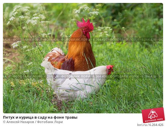 Купить «Петух и курица в саду на фоне травы», фото № 6264426, снято 9 июня 2014 г. (c) Алексей Назаров / Фотобанк Лори