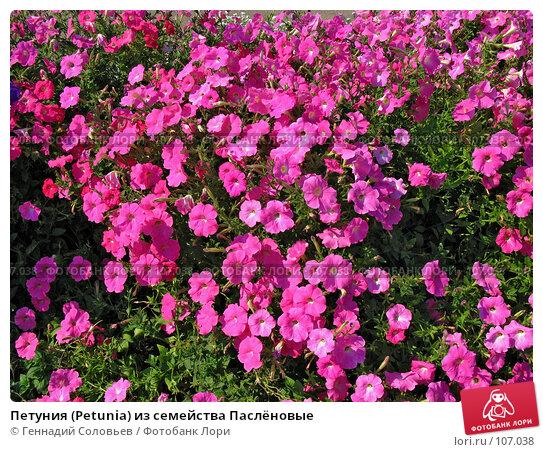 Купить «Петуния (Petunia) из семейства Паслёновые», фото № 107038, снято 23 апреля 2018 г. (c) Геннадий Соловьев / Фотобанк Лори