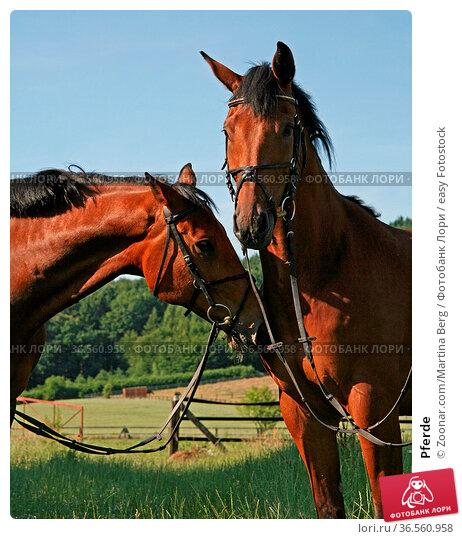 Pferde. Стоковое фото, фотограф Zoonar.com/Martina Berg / easy Fotostock / Фотобанк Лори