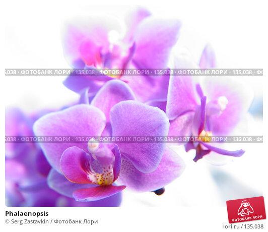 Phalaenopsis, фото № 135038, снято 3 марта 2005 г. (c) Serg Zastavkin / Фотобанк Лори