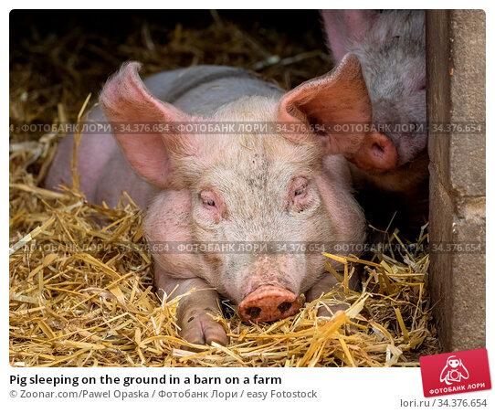Pig sleeping on the ground in a barn on a farm. Стоковое фото, фотограф Zoonar.com/Pawel Opaska / easy Fotostock / Фотобанк Лори