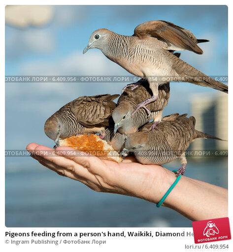 Купить «Pigeons feeding from a person's hand, Waikiki, Diamond Head, Kapahulu, St. Louis, Honolulu, Oahu, Hawaii, USA», фото № 6409954, снято 5 февраля 2013 г. (c) Ingram Publishing / Фотобанк Лори