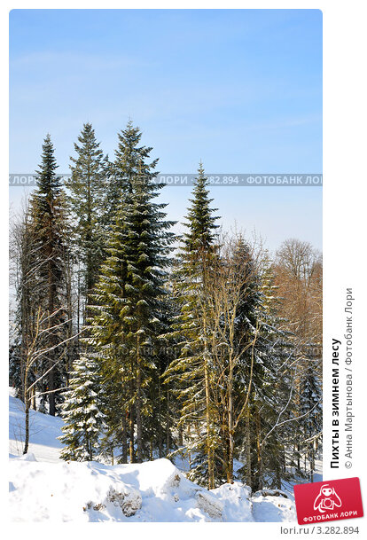 Купить «Пихты в зимнем лесу», фото № 3282894, снято 17 февраля 2012 г. (c) Анна Мартынова / Фотобанк Лори