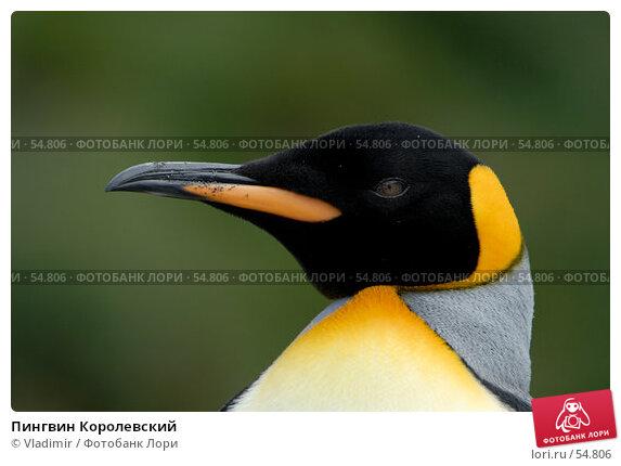 Пингвин Королевский, фото № 54806, снято 23 января 2007 г. (c) Vladimir / Фотобанк Лори