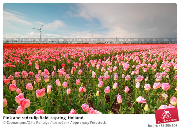Pink and red tulip field is spring, Holland. Стоковое фото, фотограф Zoonar.com/Olha Rohulya / easy Fotostock / Фотобанк Лори