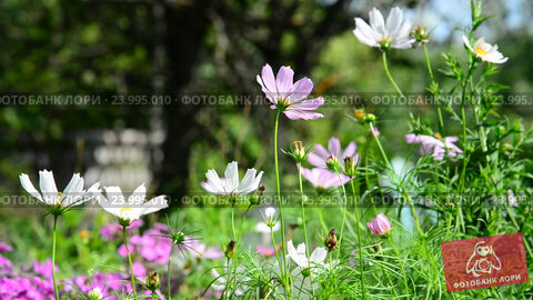 Купить «Pink and white daisies in garden», видеоролик № 23995010, снято 24 июля 2016 г. (c) Володина Ольга / Фотобанк Лори
