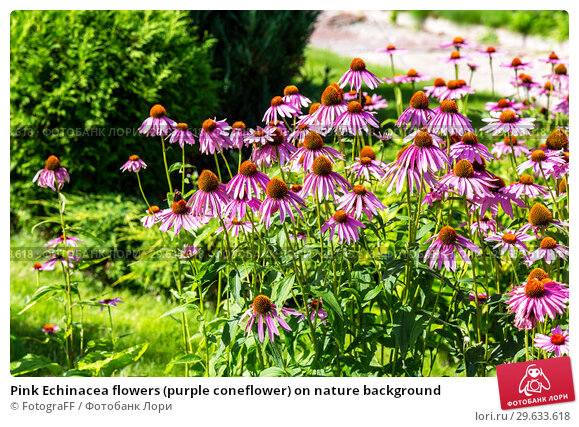 Купить «Pink Echinacea flowers (purple coneflower) on nature background», фото № 29633618, снято 9 августа 2018 г. (c) FotograFF / Фотобанк Лори