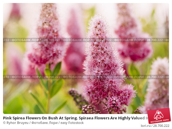 Купить «Pink Spirea Flowers On Bush At Spring. Spiraea Flowers Are Highly Valued In Decorative Gardening And Forestry Management. The Plant Is Widely Used In Landscaping And Organizations Hedges.», фото № 28700222, снято 17 июня 2016 г. (c) easy Fotostock / Фотобанк Лори