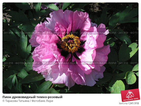 Пион древовидный темно-розовый, фото № 241918, снято 13 мая 2007 г. (c) Тарасова Татьяна / Фотобанк Лори