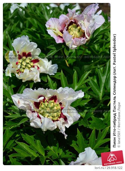 Купить «Пион Ито-гибрид Пастель Сплендор (лат. Pastel Splendor)», эксклюзивное фото № 29918122, снято 14 июня 2015 г. (c) lana1501 / Фотобанк Лори