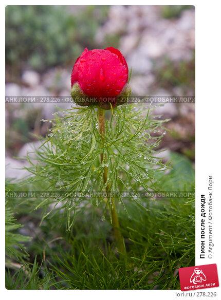 Пион после дождя, фото № 278226, снято 29 апреля 2008 г. (c) Argument / Фотобанк Лори