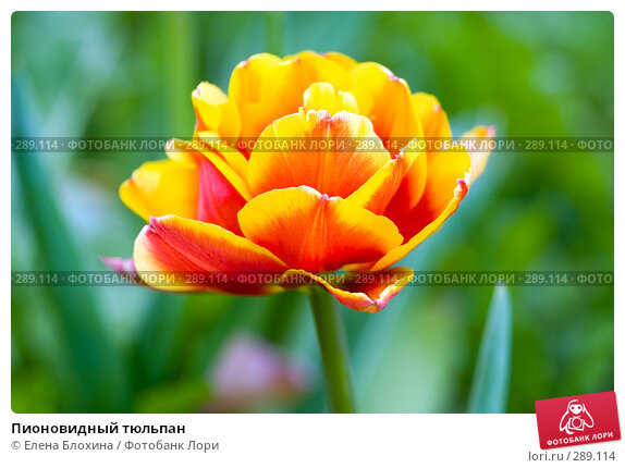 Пионовидный тюльпан, фото № 289114, снято 13 мая 2008 г. (c) Елена Блохина / Фотобанк Лори