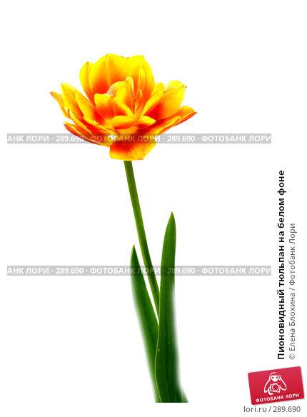 Купить «Пионовидный тюльпан на белом фоне», фото № 289690, снято 18 мая 2008 г. (c) Елена Блохина / Фотобанк Лори