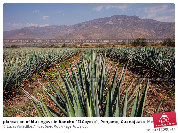 Купить «plantation of blue Agave in Rancho `El Coyote´, Penjamo, Guanajuato, Mexico.», фото № 14255454, снято 15 июня 2019 г. (c) age Fotostock / Фотобанк Лори