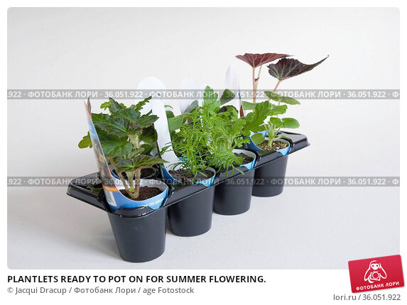 PLANTLETS READY TO POT ON FOR SUMMER FLOWERING. Стоковое фото, фотограф Jacqui Dracup / age Fotostock / Фотобанк Лори