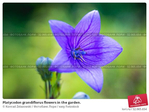 Platycodon grandiflorus flowers in the garden. Стоковое фото, фотограф Konrad Zelazowski / easy Fotostock / Фотобанк Лори