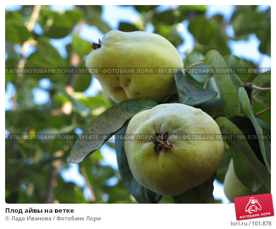 Купить «Плод айвы на ветке», фото № 101878, снято 15 октября 2007 г. (c) Лада Иванова / Фотобанк Лори
