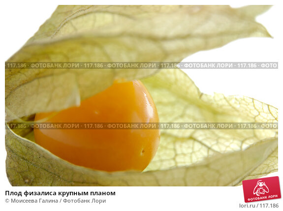 Плод физалиса крупным планом, фото № 117186, снято 14 октября 2007 г. (c) Моисеева Галина / Фотобанк Лори