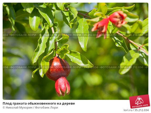 Плод граната обыкновенного на дереве. Стоковое фото, фотограф Николай Мухорин / Фотобанк Лори