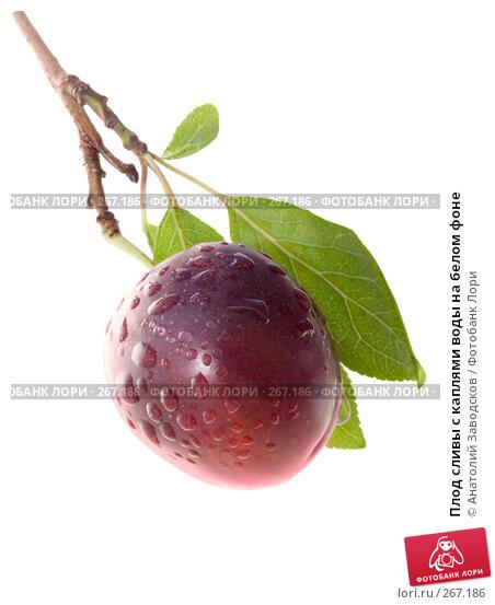 Плод сливы с каплями воды на белом фоне, фото № 267186, снято 12 августа 2007 г. (c) Анатолий Заводсков / Фотобанк Лори