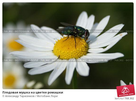 Плодовая мушка на цветке ромашки, фото № 768302, снято 2 июля 2007 г. (c) Александр Тарасенков / Фотобанк Лори