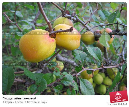 Купить «Плоды айвы золотой», фото № 105546, снято 14 октября 2007 г. (c) Сергей Костин / Фотобанк Лори