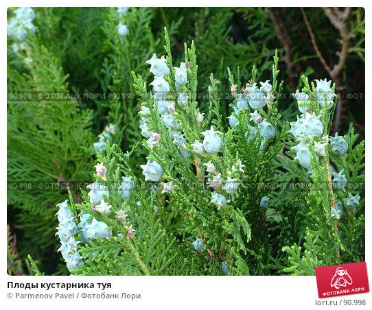 Плоды кустарника туя, фото № 90998, снято 31 мая 2007 г. (c) Parmenov Pavel / Фотобанк Лори
