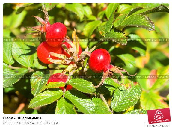 Плоды шиповника, фото № 189362, снято 21 сентября 2007 г. (c) Бабенко Денис Юрьевич / Фотобанк Лори