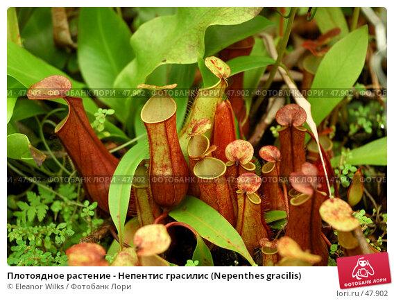 Плотоядное растение - Непентис грасилис (Nepenthes gracilis), фото № 47902, снято 9 апреля 2007 г. (c) Eleanor Wilks / Фотобанк Лори