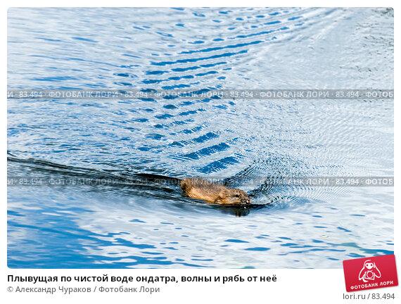 Купить «Плывущая по чистой воде ондатра, волны и рябь от неё», фото № 83494, снято 8 июля 2007 г. (c) Александр Чураков / Фотобанк Лори