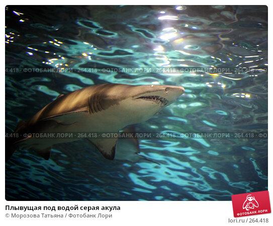 Плывущая под водой серая акула, фото № 264418, снято 20 апреля 2008 г. (c) Морозова Татьяна / Фотобанк Лори