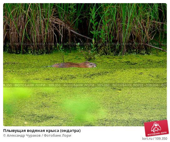 Плывущая водяная крыса (ондатра), фото № 109350, снято 1 июля 2006 г. (c) Александр Чураков / Фотобанк Лори