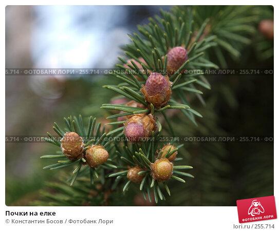 Купить «Почки на елке», фото № 255714, снято 22 апреля 2018 г. (c) Константин Босов / Фотобанк Лори