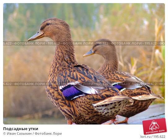 Подсадные утки, фото № 195622, снято 13 ноября 2004 г. (c) Иван Сазыкин / Фотобанк Лори