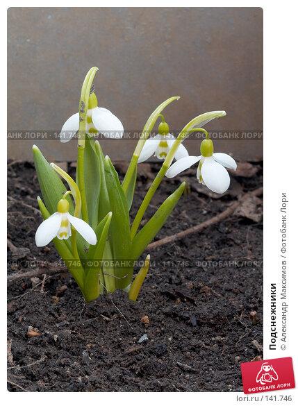 Подснежники, фото № 141746, снято 11 апреля 2006 г. (c) Александр Максимов / Фотобанк Лори