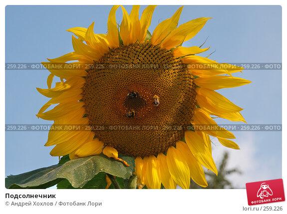 Подсолнечник, фото № 259226, снято 17 августа 2007 г. (c) Андрей Хохлов / Фотобанк Лори