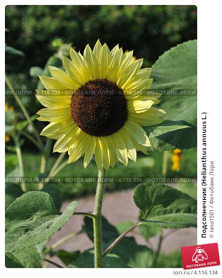 Купить «Подсолнечник (Helianthus annuus L.)», эксклюзивное фото № 4116134, снято 29 июля 2012 г. (c) lana1501 / Фотобанк Лори