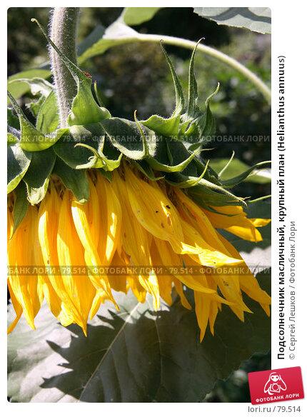Подсолнечник масличный, крупный план (Helianthus annuus), фото № 79514, снято 8 декабря 2007 г. (c) Сергей Лешков / Фотобанк Лори