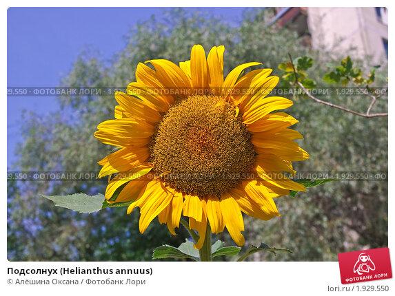 Купить «Подсолнух (Helianthus annuus)», эксклюзивное фото № 1929550, снято 22 июля 2010 г. (c) Алёшина Оксана / Фотобанк Лори