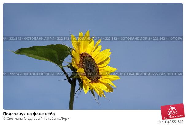 Купить «Подсолнух на фоне неба», фото № 222842, снято 27 августа 2006 г. (c) Cветлана Гладкова / Фотобанк Лори