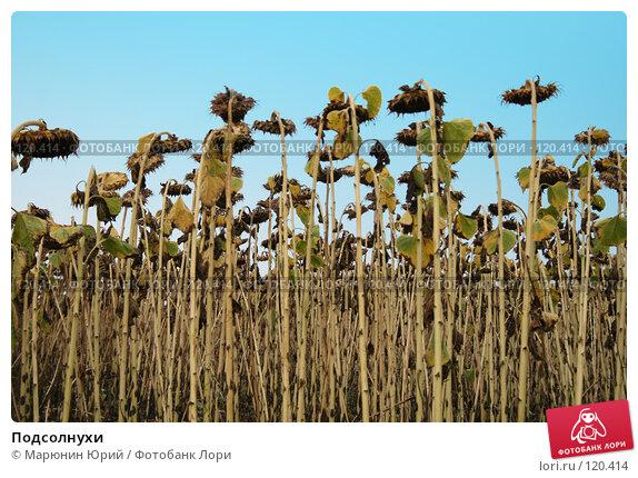 Подсолнухи, фото № 120414, снято 4 сентября 2007 г. (c) Марюнин Юрий / Фотобанк Лори