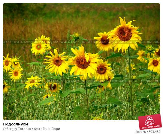 Подсолнухи, фото № 303482, снято 28 июля 2004 г. (c) Sergey Toronto / Фотобанк Лори