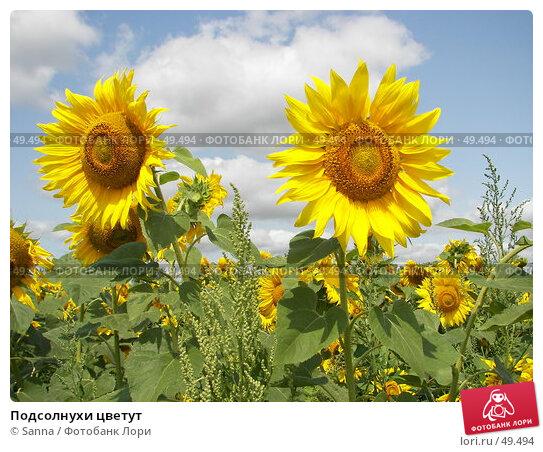 Подсолнухи цветут, фото № 49494, снято 28 июля 2006 г. (c) Sanna / Фотобанк Лори