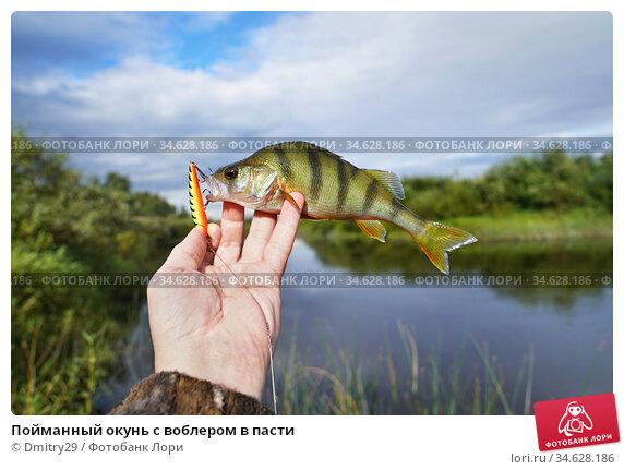 Пойманный окунь с воблером в пасти. Стоковое фото, фотограф Dmitry29 / Фотобанк Лори