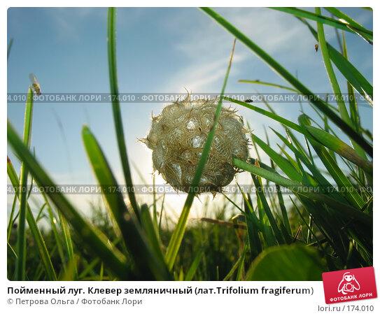 Пойменный луг. Клевер земляничный (лат.Trifolium fragiferum), фото № 174010, снято 12 августа 2007 г. (c) Петрова Ольга / Фотобанк Лори