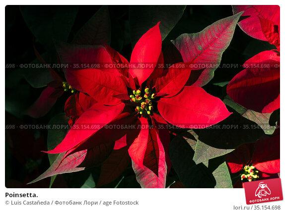 Poinsetta. Стоковое фото, фотограф Luis Castañeda / age Fotostock / Фотобанк Лори