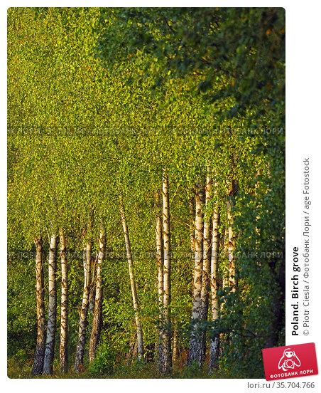 Poland. Birch grove. Стоковое фото, фотограф Piotr Ciesla / age Fotostock / Фотобанк Лори
